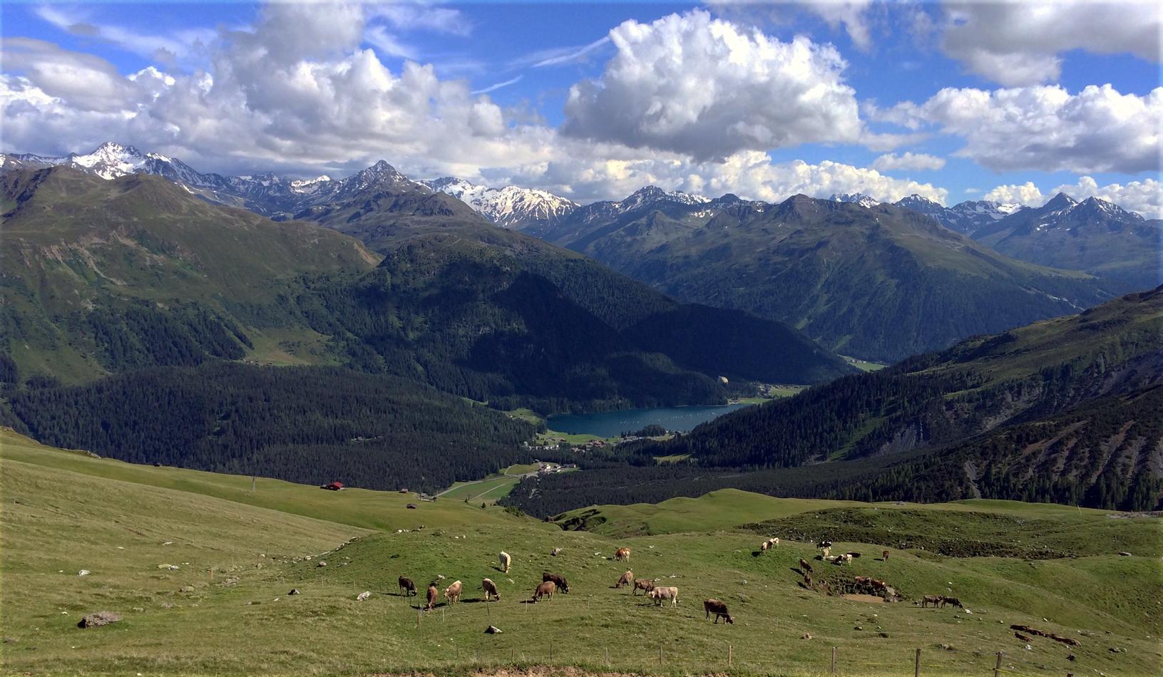 Cows and Lake Davos