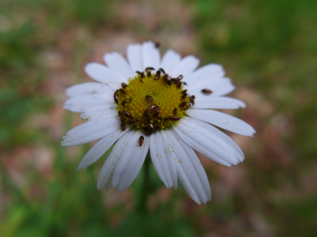 Interesting little beetles on this daisy.