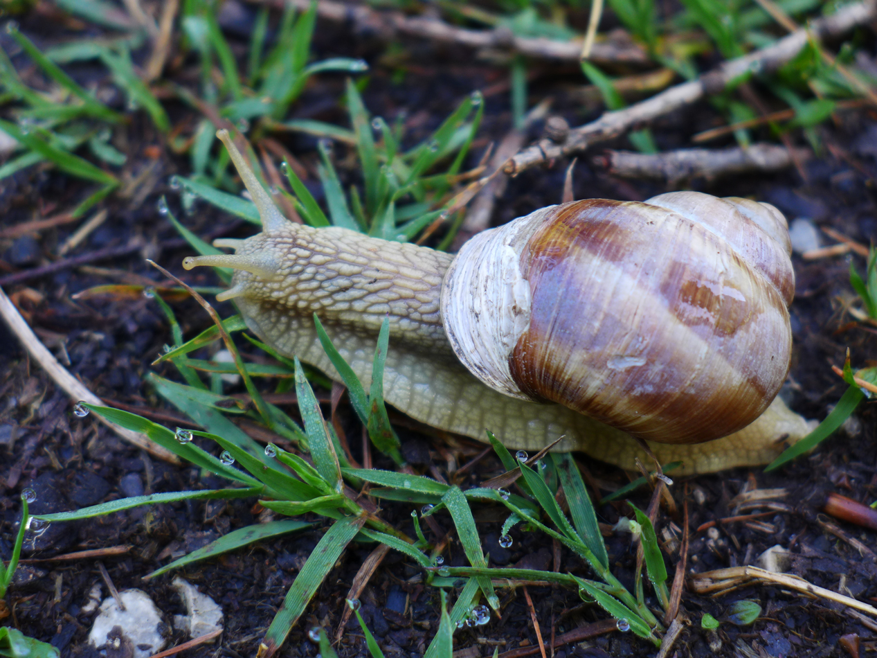 One of the local snails