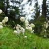 An interesting flower.  Bladder Campion or Silene vulgaris ? thumbnail