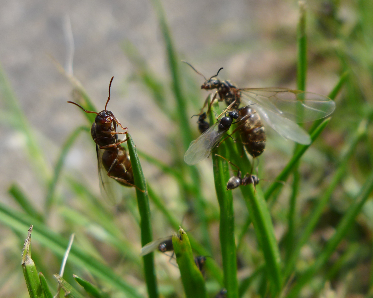Emerging reproductive ants.   Perhaps they're the same species, and the small ones are the males.