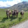 We like the Swiss cows with their fluffy ears. thumbnail