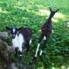 More goats. thumbnail