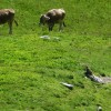 A marmot watching the cows. thumbnail