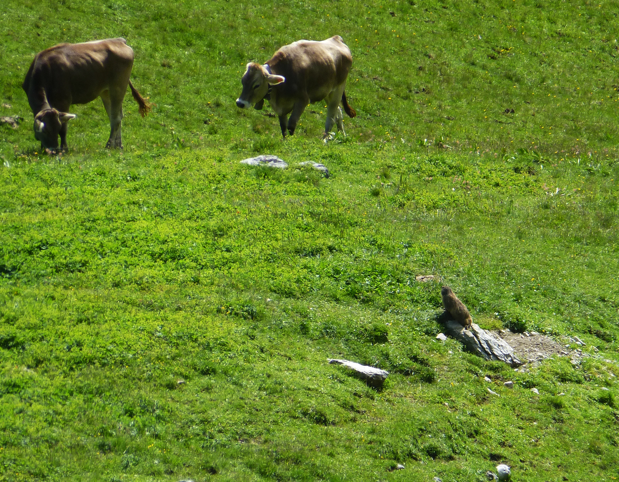 A marmot watching the cows.