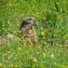 The marmot again.  So cute. thumbnail
