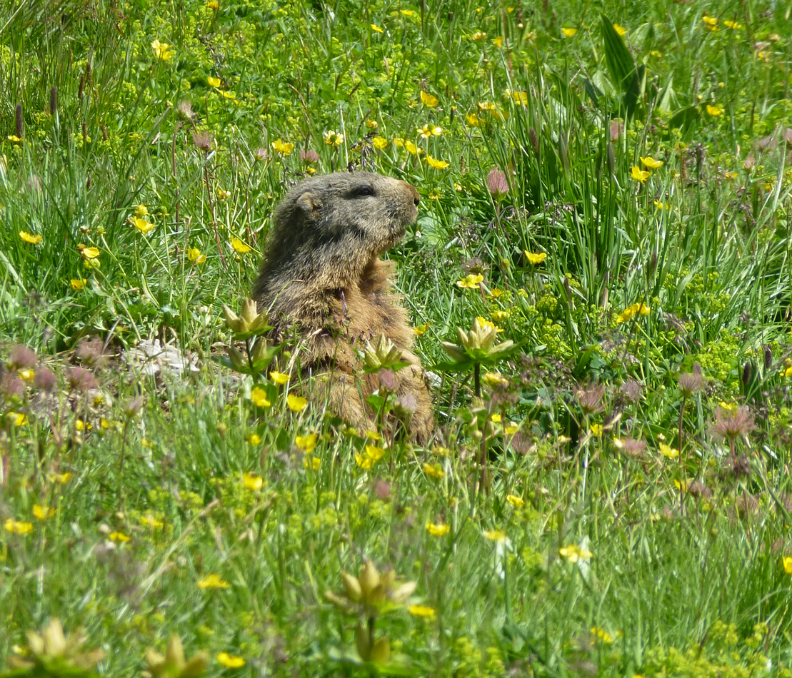 The marmot again.  So cute.