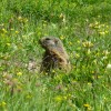 OK, marmots are cute and I had never seen one before. thumbnail