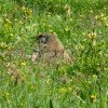 Another view of a marmot thumbnail