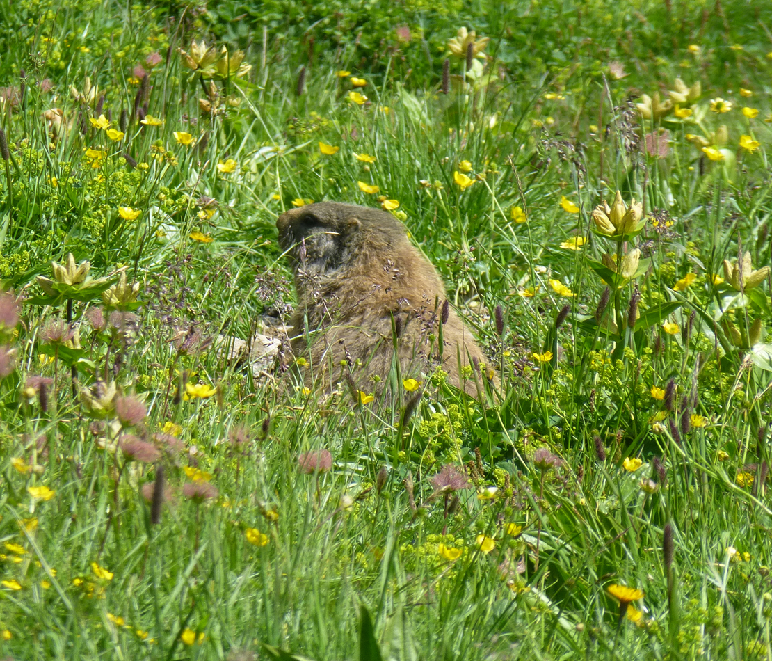Another view of a marmot