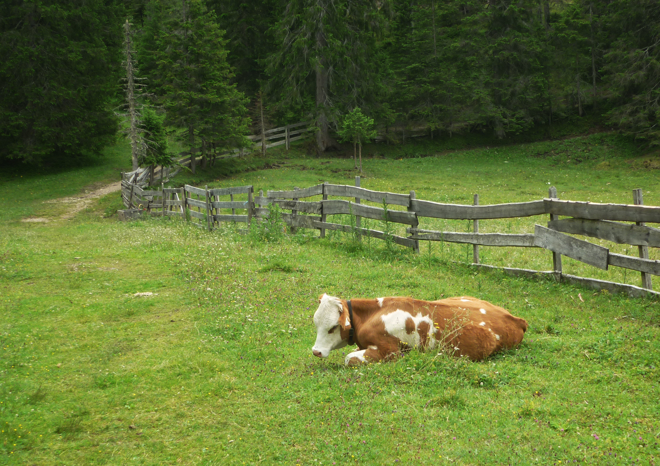 A happy cow near lush pastures