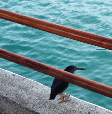 A Lava Heron by the harbor at Puerto Ayora