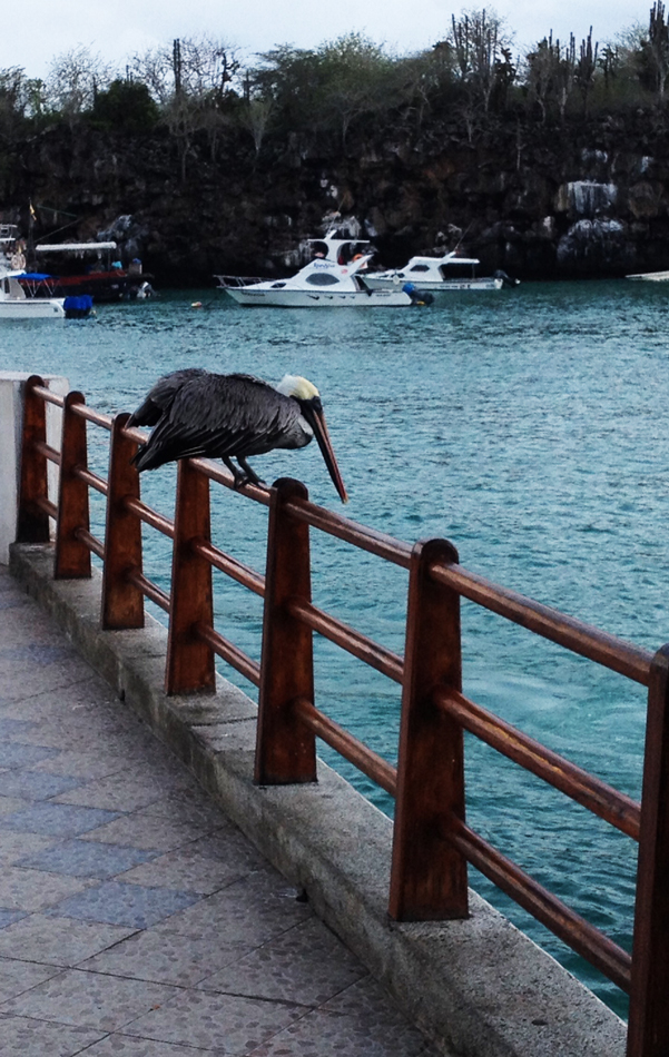 A pelican by the harbor at Puerto Ayora