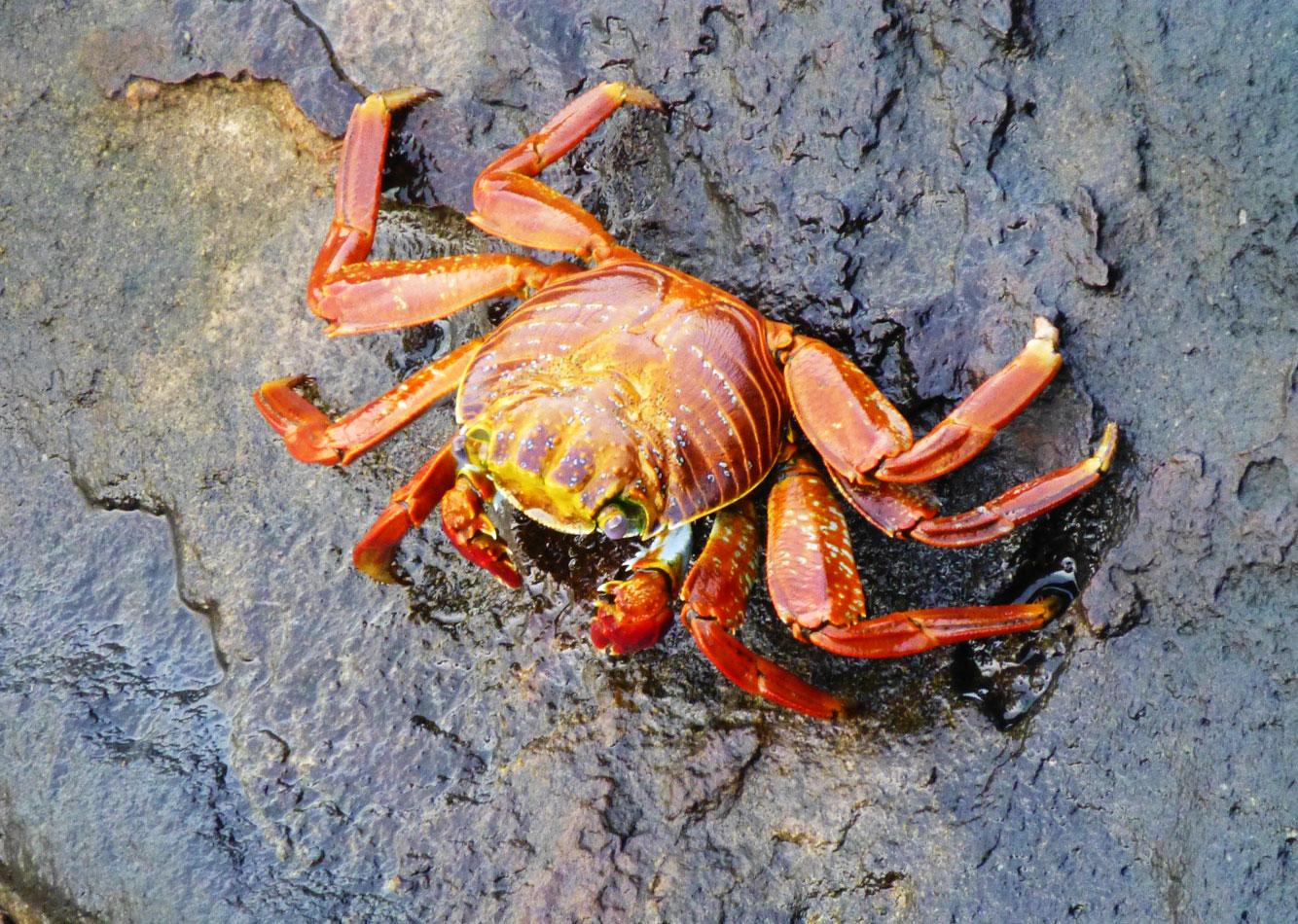 A Sally lightfoot crab