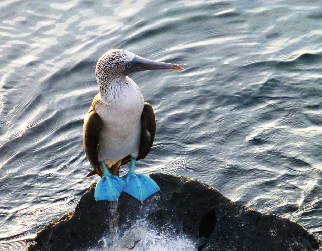 A Blue-footed Boobie, but I'll bet you already figured that out.