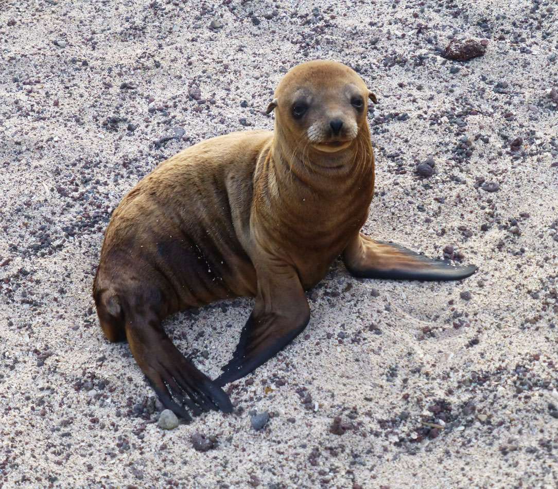 An adorable sea lion pup