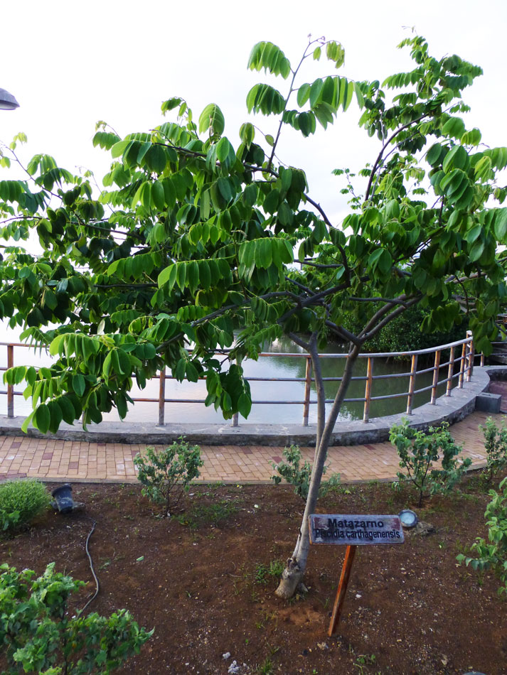 Matazarno (Piscidia carthagenensis) is a native hardwood tree.