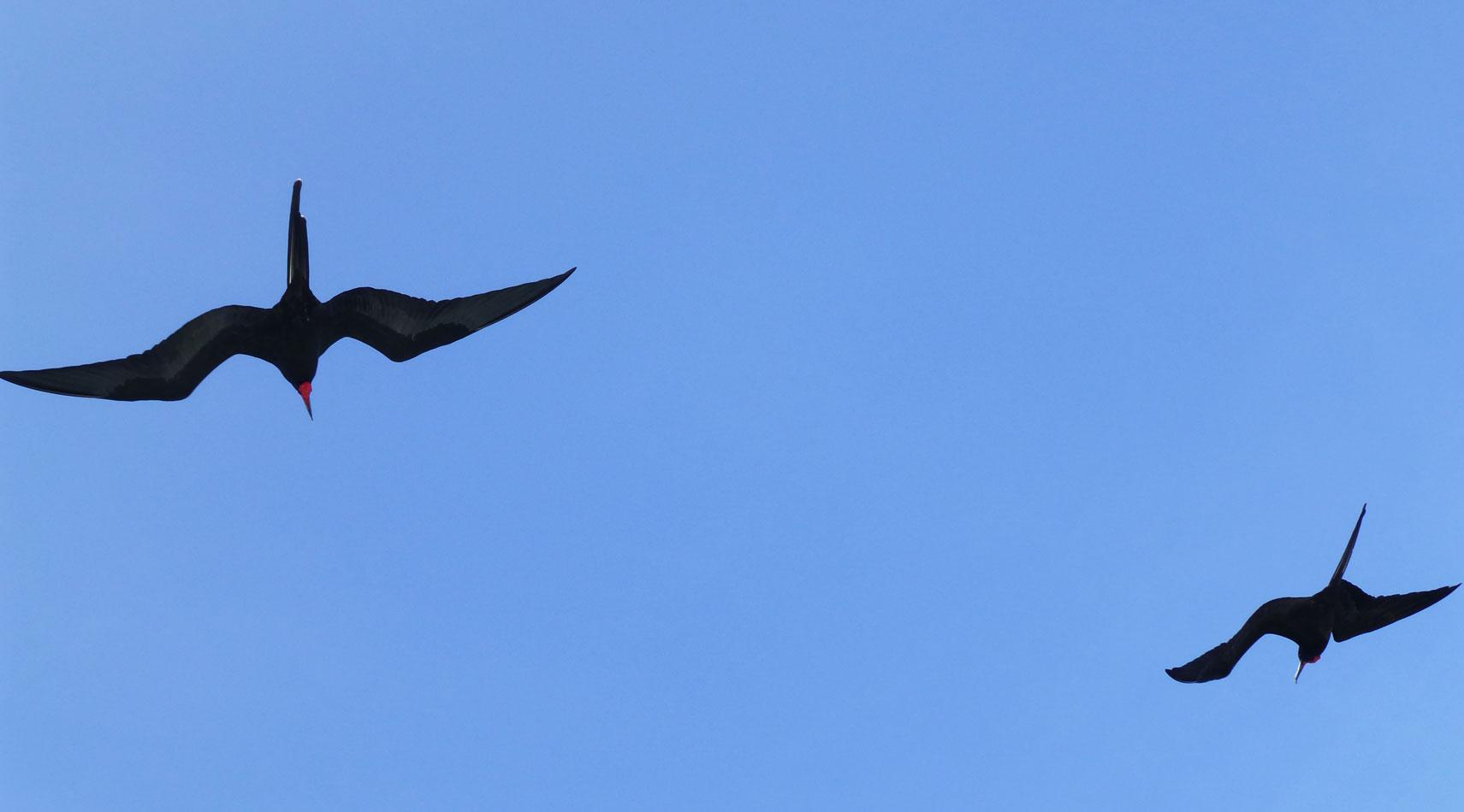 More frigatebirds