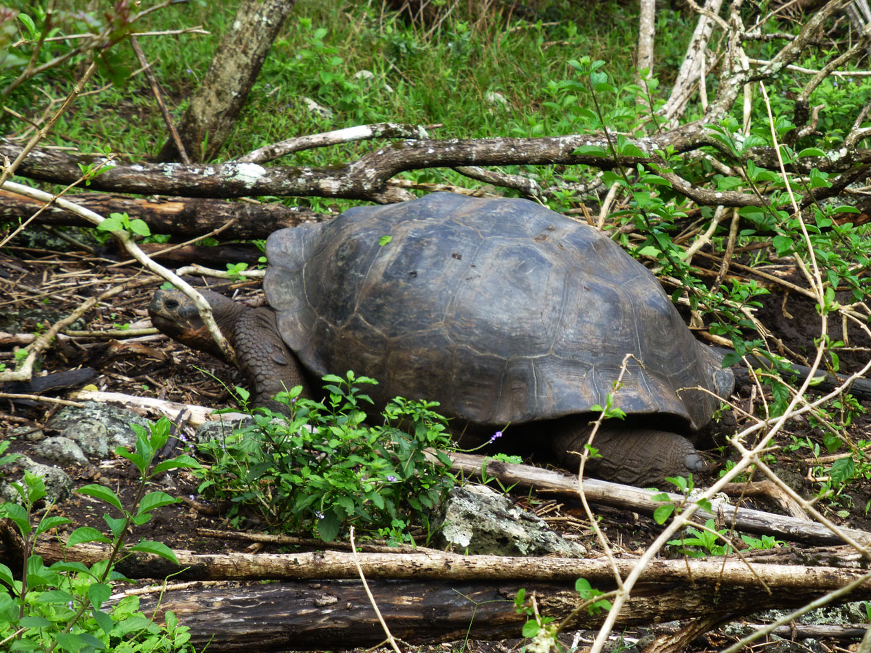 One of several tortoises that we encountered.