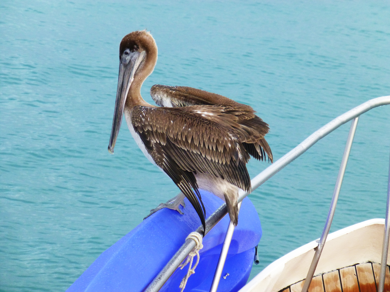 A pelican perched at the bow of our boat, the Archipel II.