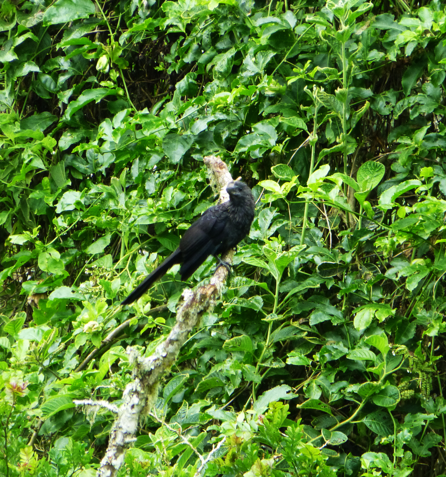 A smooth-billed ani  - not a native species, it was imported.