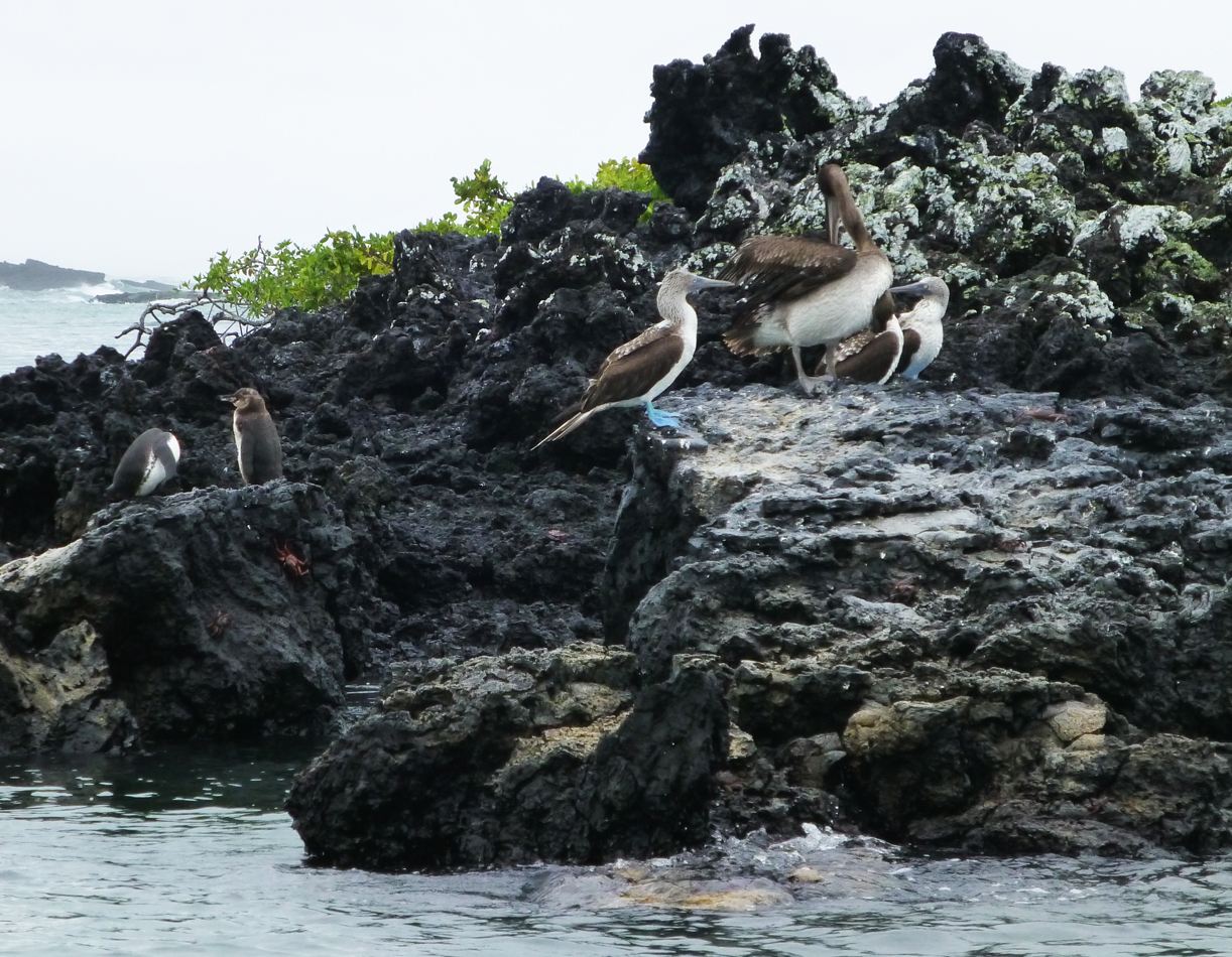 More penguins, pelican and blue-footed boobies.
