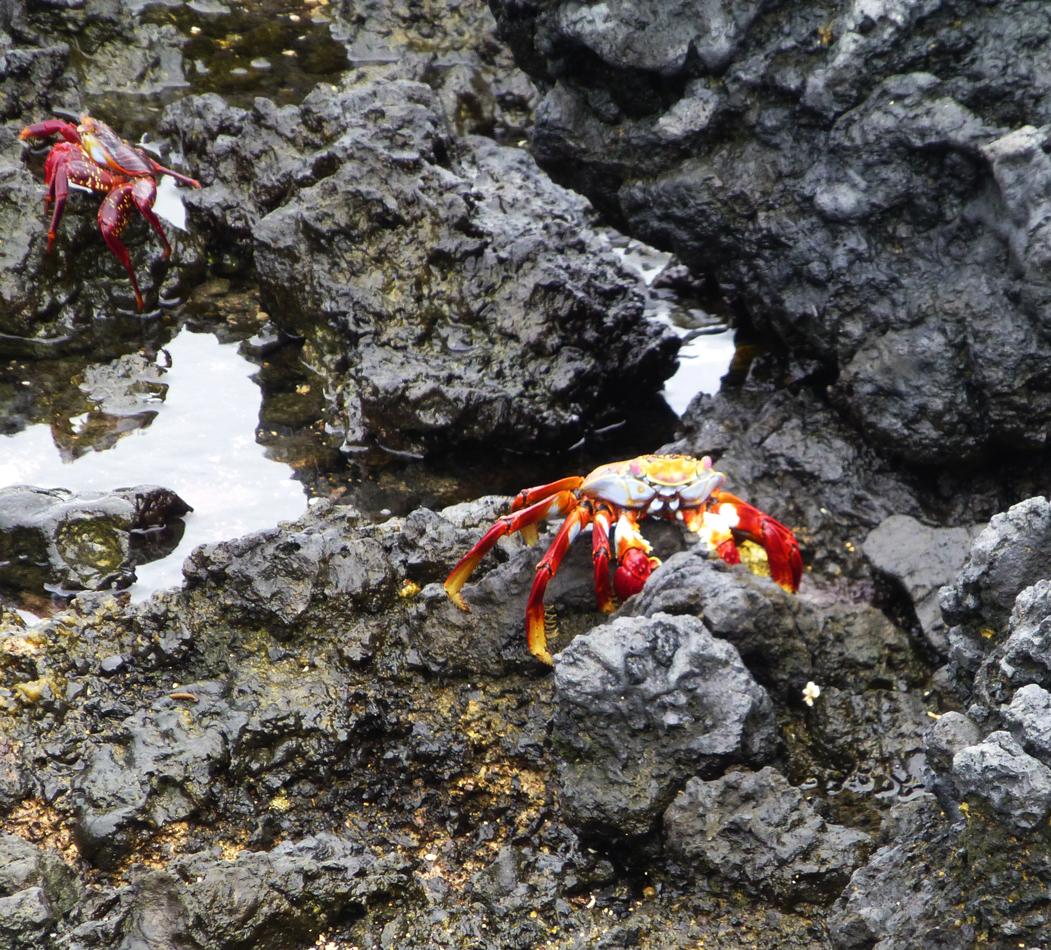 Sally light-foot crabs