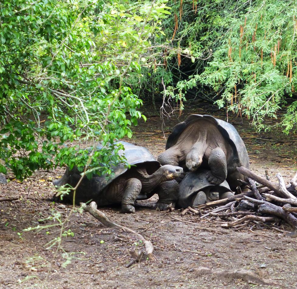 At breeding center, witnessing tortoise sex...