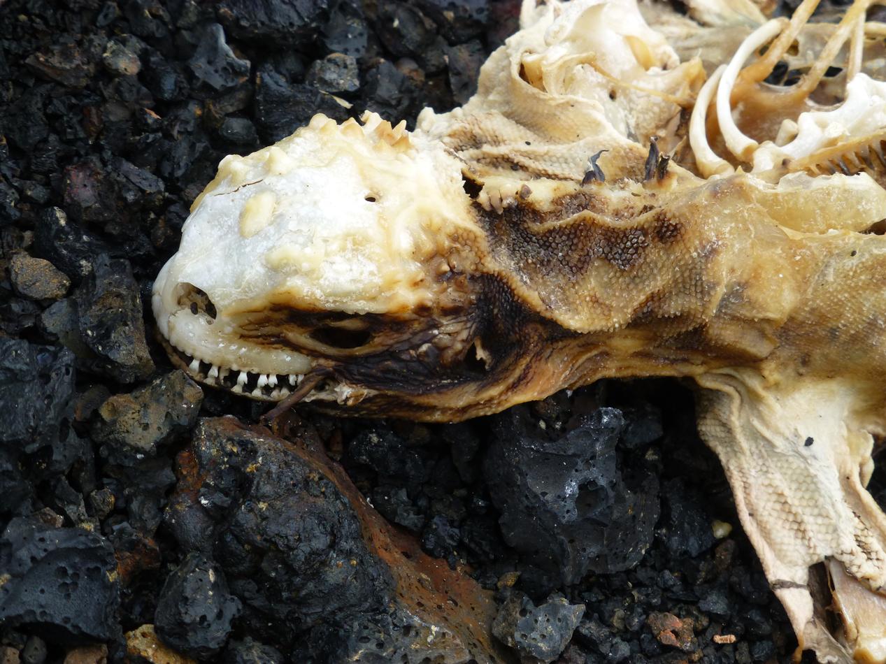 A dead iguana