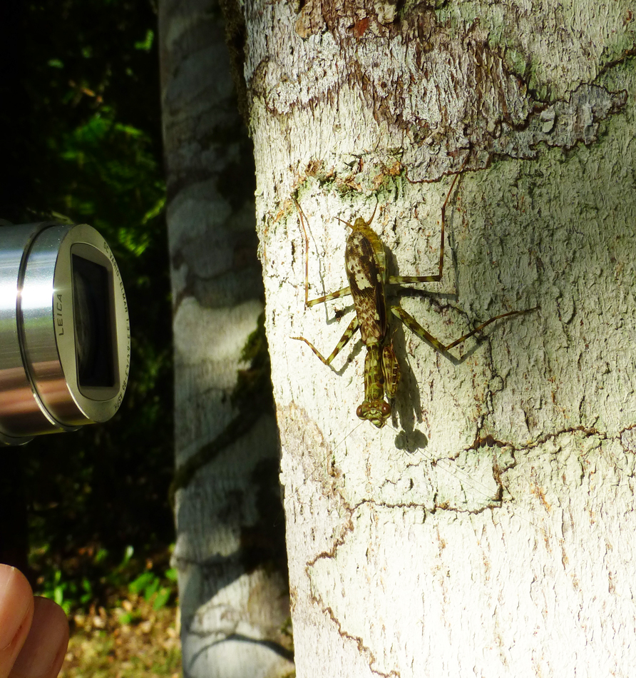 A preying mantis (and Peter's lens)