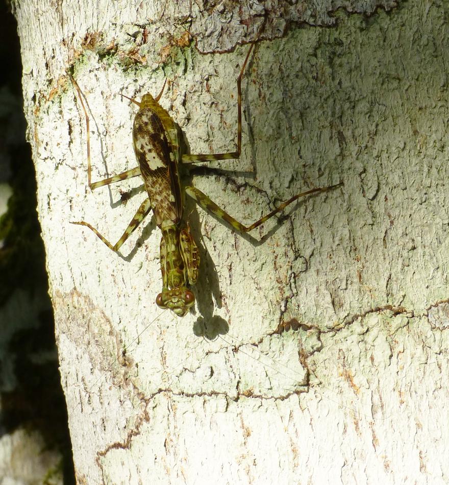A preying mantis
