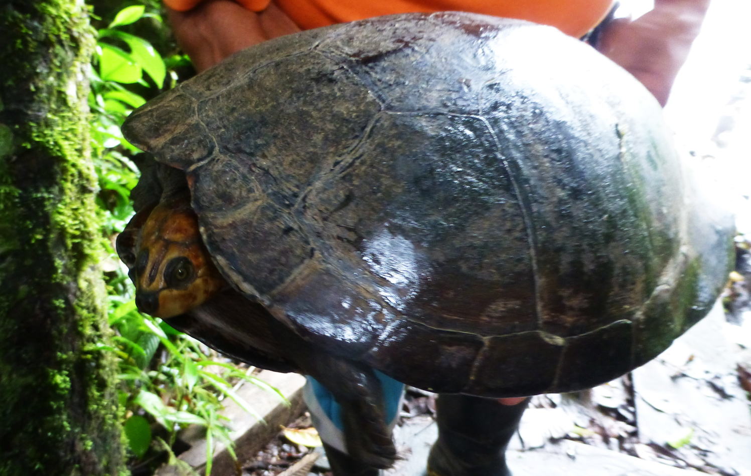 A rescued turtle