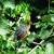 Hoatzin thumbnail