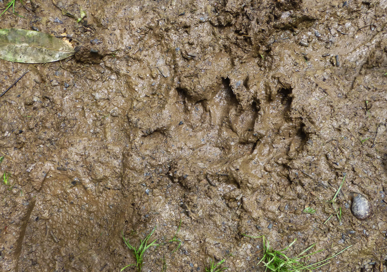 Near the water's edge, we saw footprints - likely from a capybara