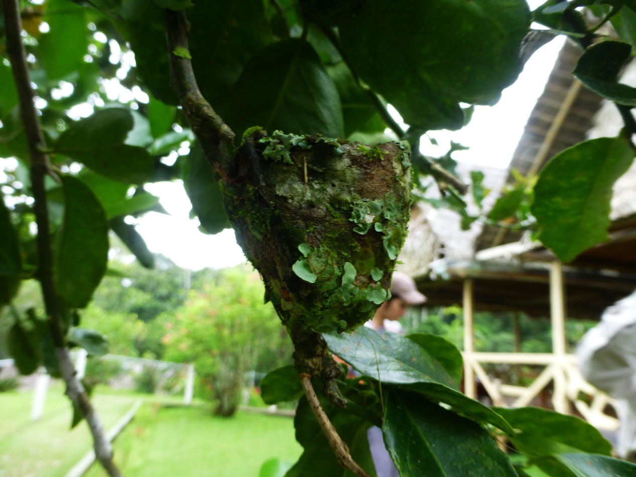 Back at the lodge, someone discovered this hummingbird nest