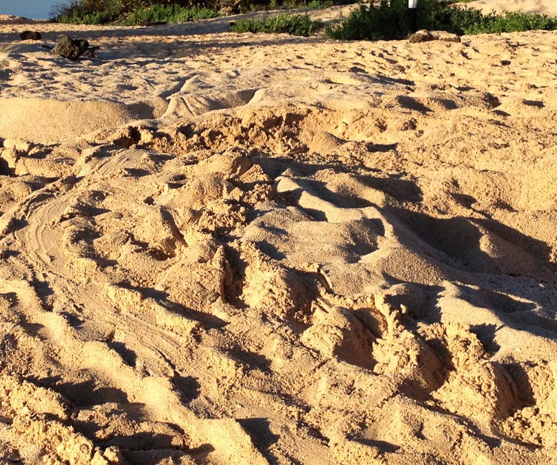 Beach where Galápagos green turtles nest