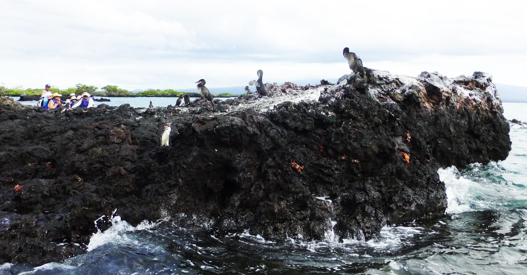 Penguins and Flightless Cormorants