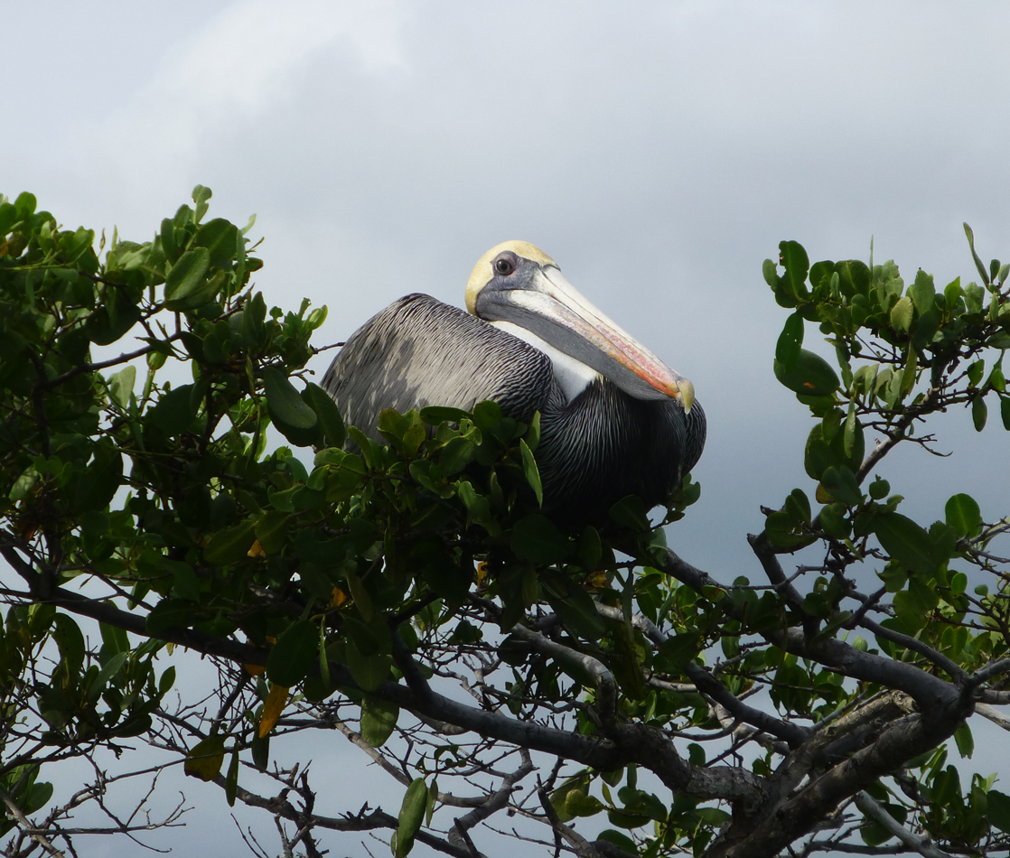 A pelican in the mangrove branches.