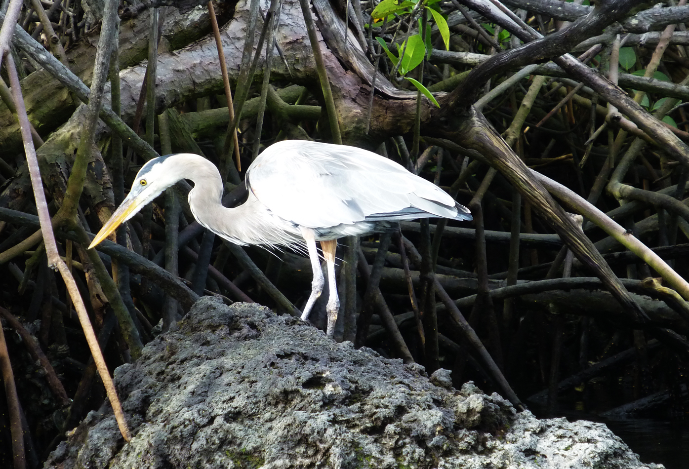 A Great Blue Heron in the mangroves