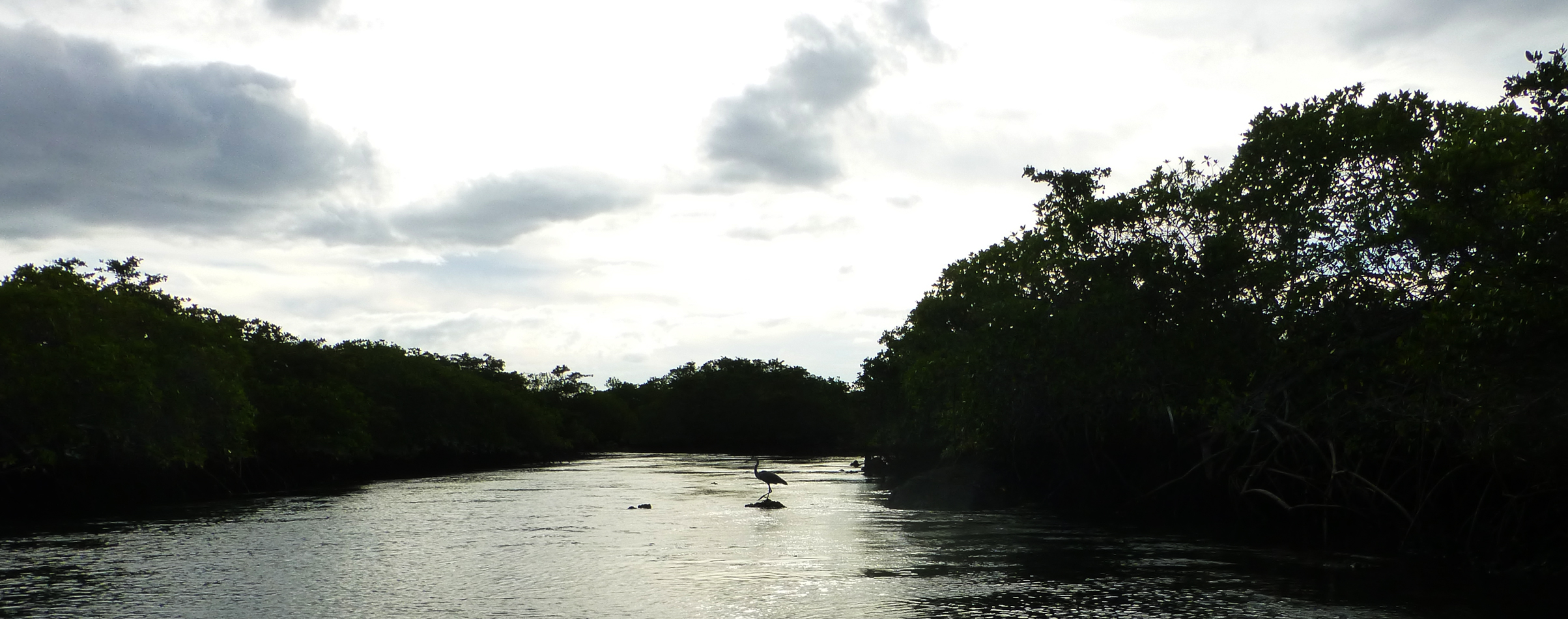 A heron in the mangroves