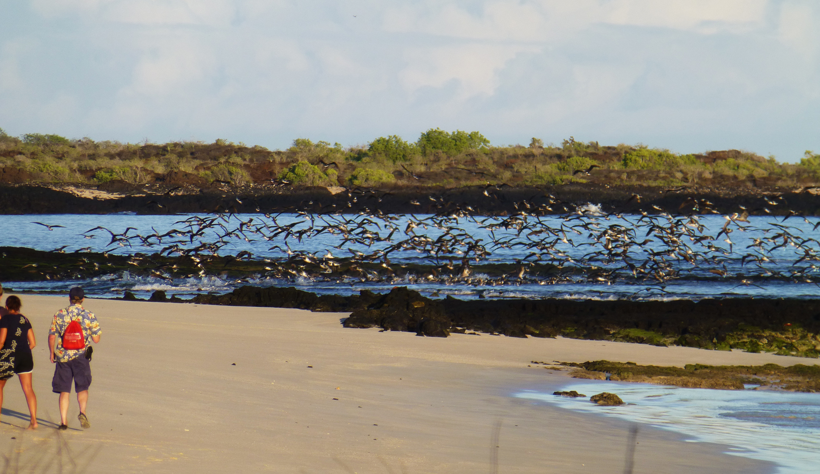 A flock of Blue-Footed Boobies - wow!