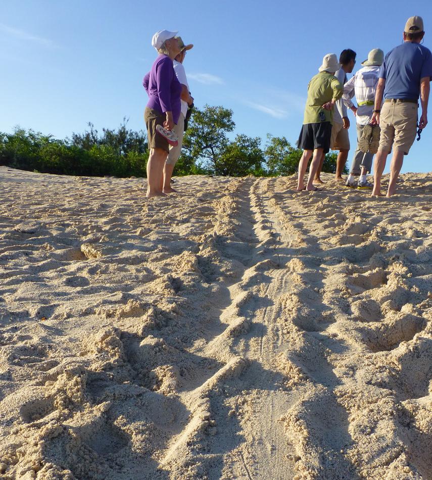 Mommy sea turtle tracks