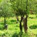 P1030539_Kayakoy_goat_950h thumbnail