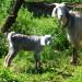 P1030554_postKayakoy_goats_950 thumbnail