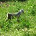 P1030556_postKayakoy_goat_950 thumbnail