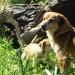 P1030557_postKayakoy_dogs_950h thumbnail
